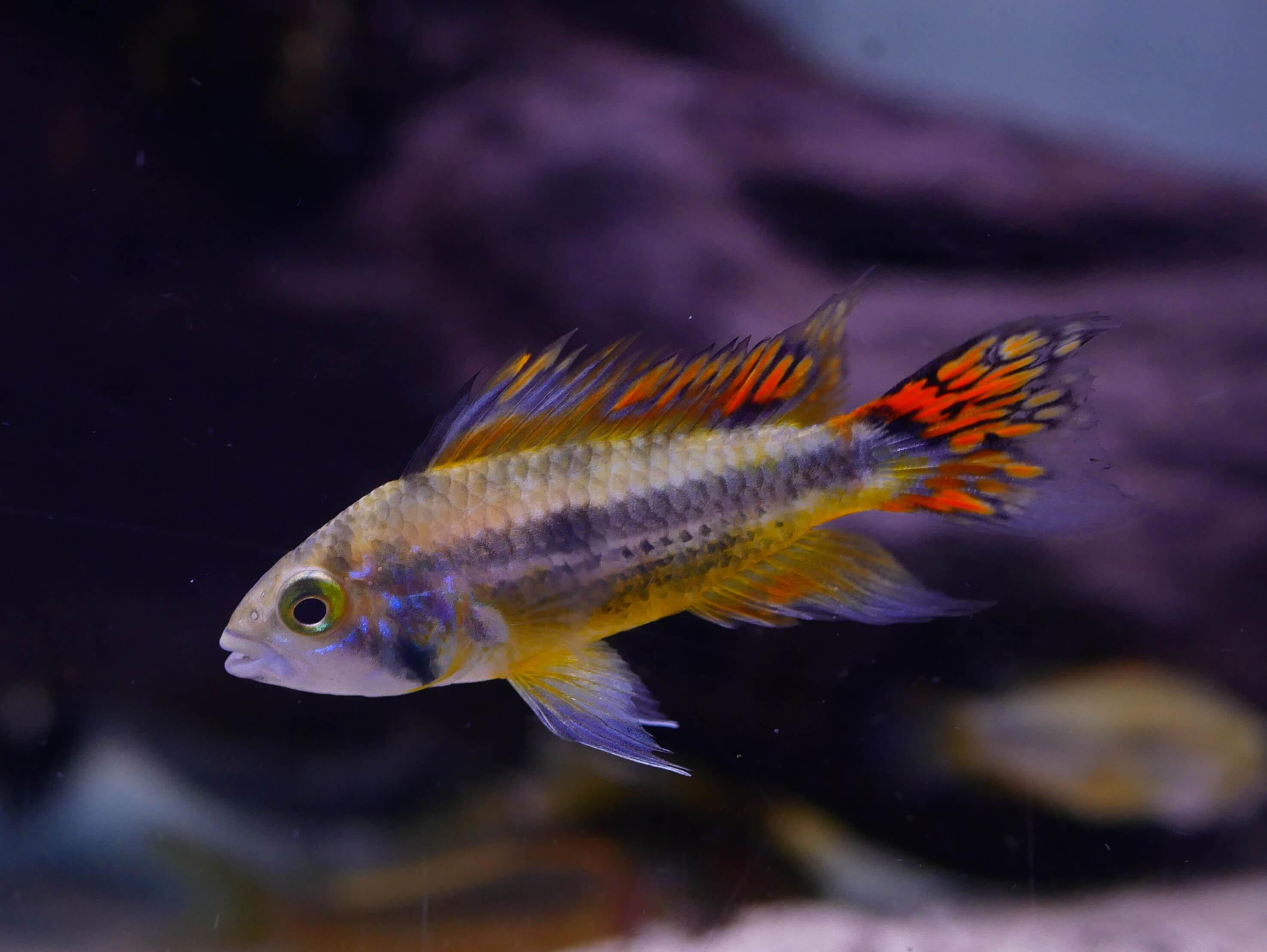 Ici, un mâle Apistogramma cacatuoides reconnaissable notamment grâce à ses nageoires richement colorées.